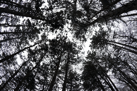 black and white forest: Bare treetops in a forest against foggy gray sky Stock Photo