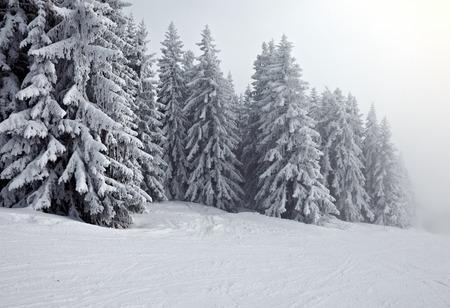 arbol de pino: Bosque en invierno cubierto por la nieve