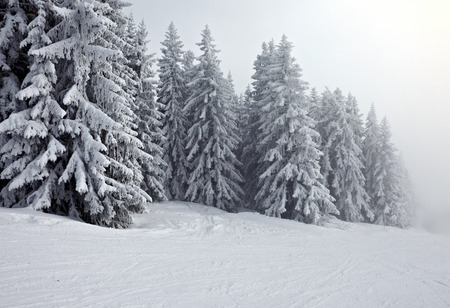 snow scenes: Forest in winter covered by snow