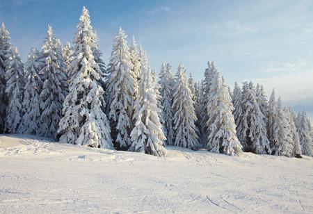 montañas nevadas: Árboles de pino cubierto de nieve en un paisaje de invierno