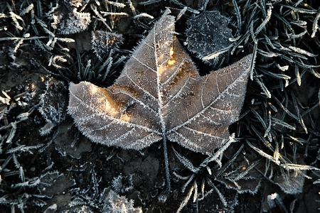 ead: Fallen leaf with frost on the ground Stock Photo