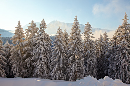 frost covered: Snowy pine trees on a winter landscape