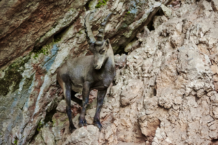 Alpine Ibex closeup in the mountains photo