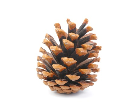 Pine cone isolated on white background photo