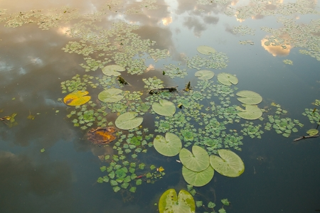 waterscape: Water surface with lily plants Stock Photo