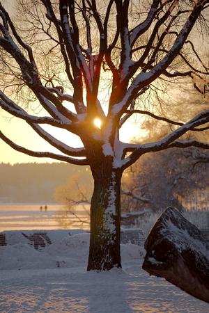 living moment: Winter tree with sunlight peeking through