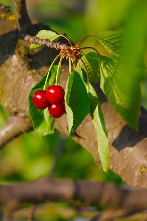 cherrytree: Fresh fruits on the cherry tree