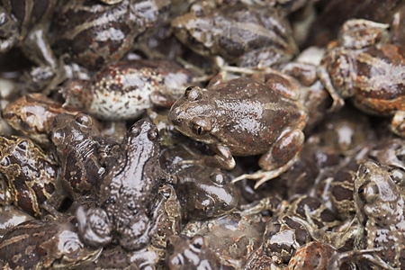 mire: Crowd of small brown frogs