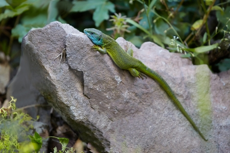 lizzard: European Green Lizzard on a stone Stock Photo