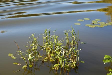plantas acuaticas: Superficie del lago con plantas acu�ticas