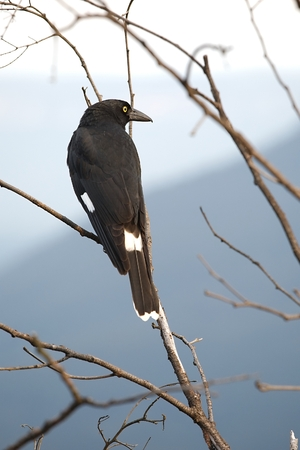 pied: Bird on tree, Pied Currawong