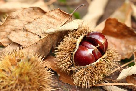 fallen fruit: Ripe chestnuts fallen from the tree