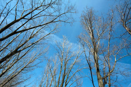 treetops: Bare, leafless treetops against clear blue sky