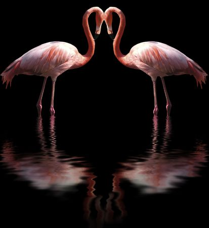 two flamingos with their reflexes in the water photo