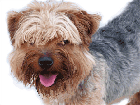 yorkshire: Yorkshire terrier portrait to represent dog breed