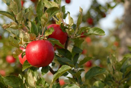 Closeup of apples on tree in morning light photo