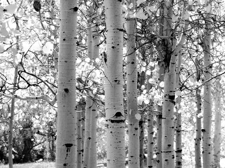 Black and white image of Aspen trees in the Yosemite Valley
