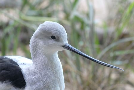 avocet: Close up of the head of an American Avocet bird Stock Photo