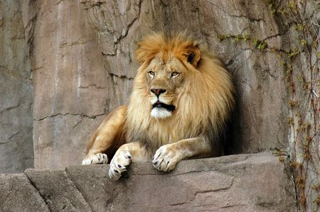 stone lion: Male lion resting on a rock ledge at Brookfield zoo