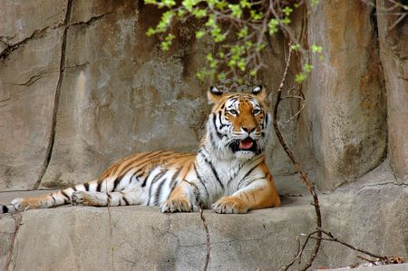 Siberian tiger resting on rock ledge photo