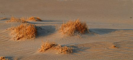 sagebrush: Golden colored sagebrush in the sand at Death Valley California Stock Photo