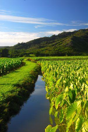 taro: Taro field in the Hanalei valley of Kauai Hawaii