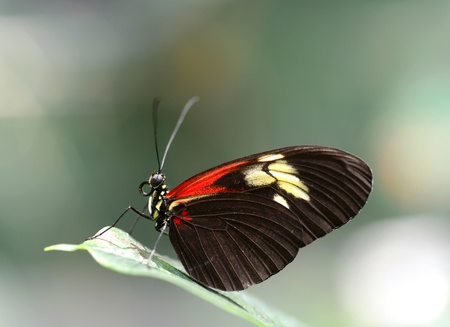 longwing: Closeup of a Doris Longwing butterfly resting on a leaf