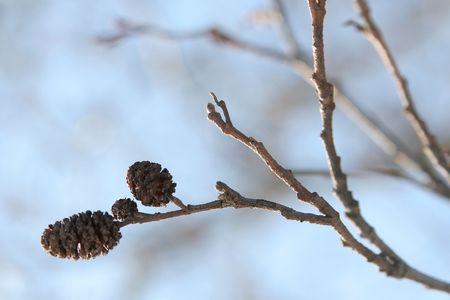 alder: Twig of alder