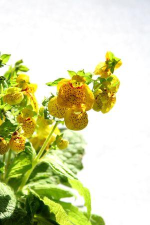 calceolaria: Yellow calceolaria