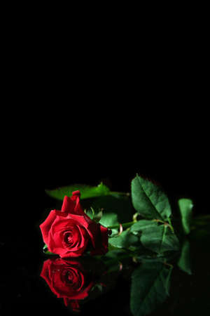Red rose on a black background Stock Photo