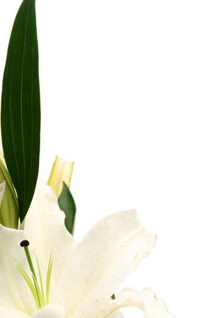 White esater lilies on a white background Stock Photo - 846982
