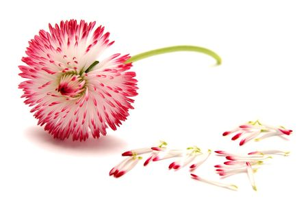 Big pink daisies on a white background