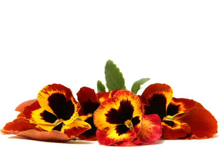 Beautiful red yellow pansies on a white background photo