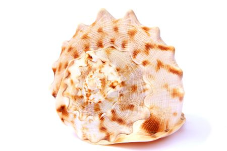 molusk: Different shells isolated on a white background
