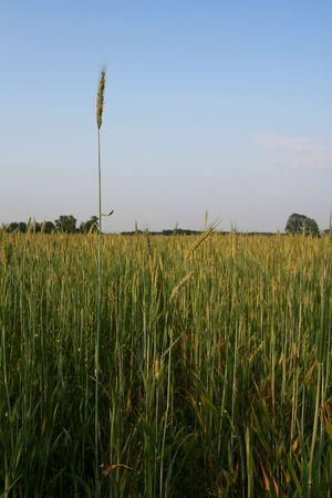 Green rye field on a blue sky backgound Stock Photo - 1156996