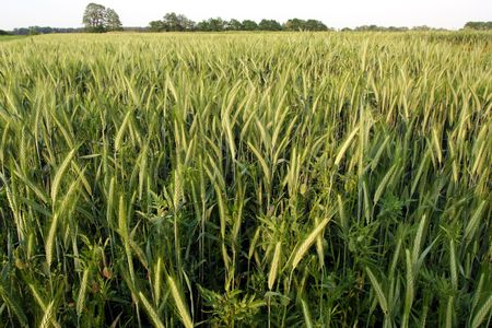 Green rye field on a blue sky backgound Stock Photo - 1157001
