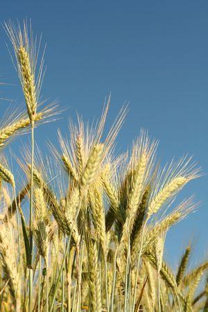 Yellow rye field on a blue sky backgound Stock Photo