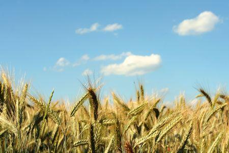 Yellow rye field on a blue sky backgound Stock Photo - 1356541