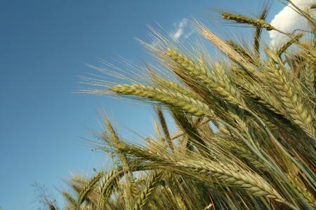 Yellow rye field on a blue sky backgound Stock Photo - 1366864