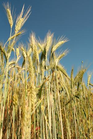 Yellow rye field on a blue sky backgound Stock Photo - 1366865