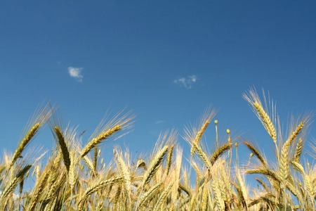 Yellow rye field on a blue sky backgound Stock Photo - 1366862