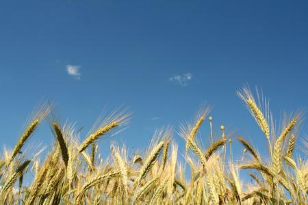 Yellow rye field on a blue sky backgound Stock Photo - 1366862