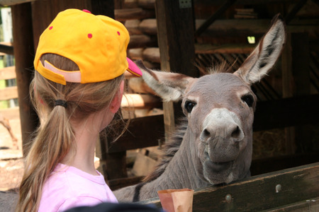 petting: Girl wearing yellow cap and donkey in the zoo
