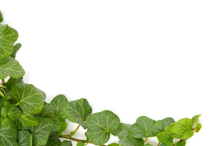 rambler: Green ivy twig on a white background