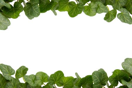 bordered: Green ivy twig on a white background