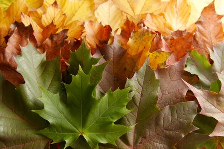 Colorful autumnal leaves on a white background Stock Photo - 2063861