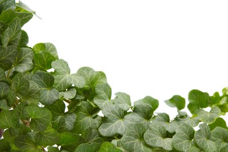 greenness: Green ivy twig on a white background