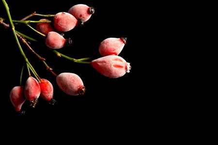 hoary: Red frosted rose hips on a black background