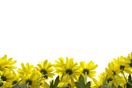 Big, yellow marguerites on a white background Stock Photo - 2646465
