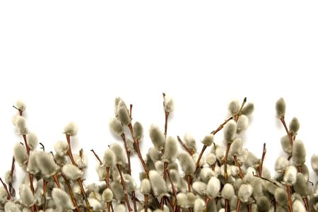 catkins: Twigs of willow with catkins on a white background Stock Photo